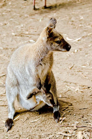 joey: the bennetts red necked wallaby has a joey in her pouch
