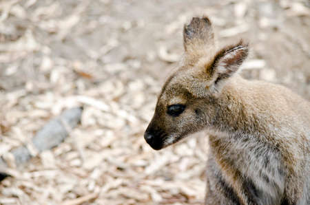 joey: this is a close up of a bennetts red necked wallaby Stock Photo