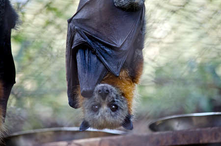 this is a close up of a fruit bat