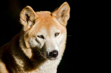 this is a close up of a golden dingo