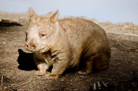Esto es un cierre para arriba de un wombat peludo de la nariz Foto de archivo