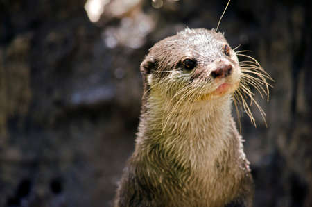 this is a close up of a small Asian otter standing