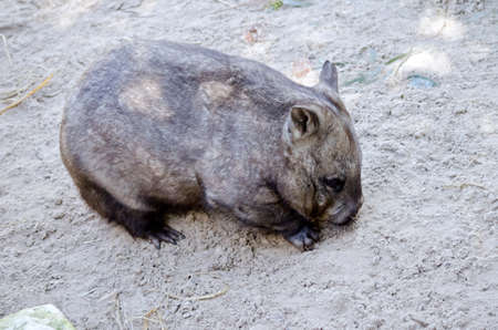 wombat: this is a close up of a common wombat Foto de archivo