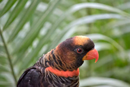 this is a close up of a dusky lory Stock Photo