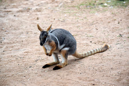 this is a close up of a yellow footed rock wallaby Stock Photo