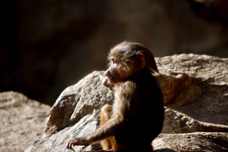 the young baboon is sitting and chewing on a stick Stock Photo - 81370937