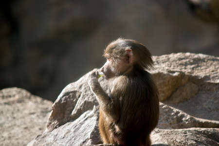 the young baboon is sitting and chewing on a stick Stock Photo - 81370941