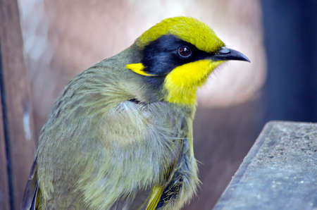 this is a close up of a yellow tufted honeyeater