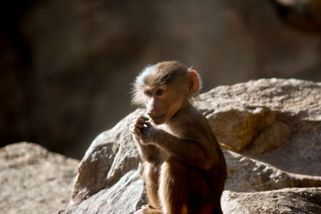 the young baboon is sitting and chewing on a stick