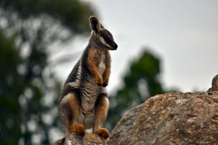 this is a close up of a yellow footed rock wallaby joey