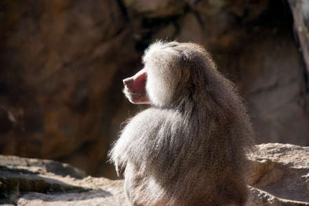 this is a close up of a baboon Stock Photo