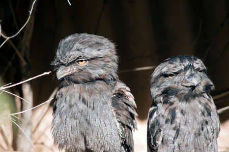 Two tawny frogmouths are sitting on a branch Stock Photo