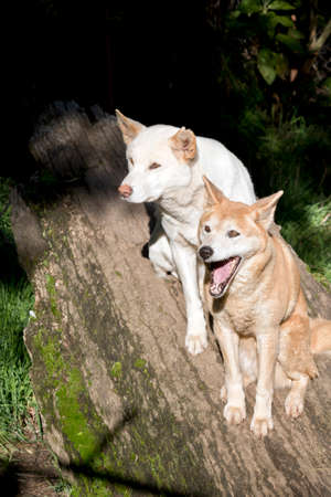 White and golden dingos are sitting on a log