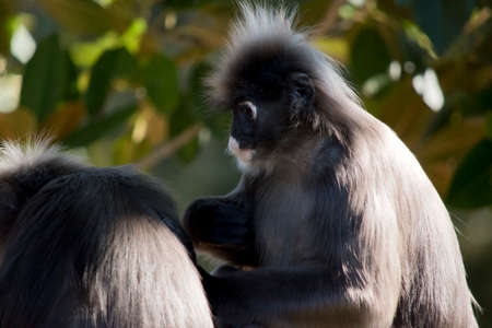 Dusky leaf monkey are grooming each other in a tree
