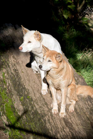White and golden dingo are sitting on a log