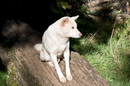 White dingo is sitting on a log