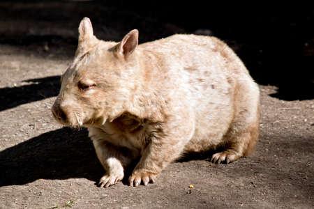 wombat: Cerca de un wombat