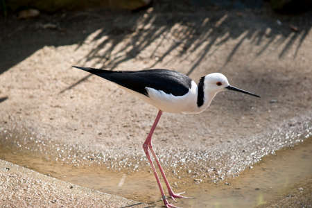 the black winged stilt is drinking waterfrom a puddle
