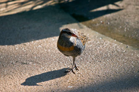 the buff banded rail is walking on a path Stock Photo