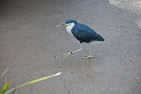 the pied heron is walking on the paved path