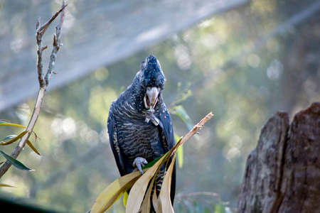 the female red tailed black cockatoo has yellow spots