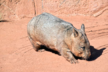 this is a side view of a common wombat Foto de archivo