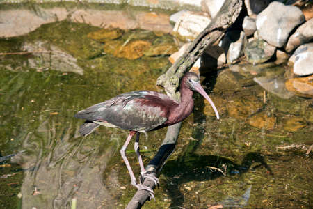 the glossy ibis  is on a log looking for food