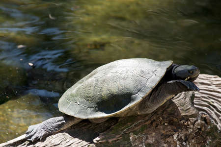 cartilaginous: The turtle is balanced on a log
