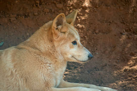 This is a close up of a dingo