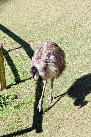 The emu is walking in a paddock Reklamní fotografie - 83528499