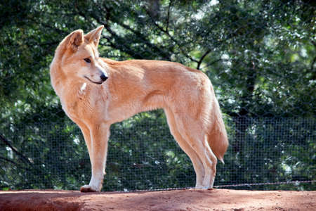 The golden dingo is standing looking for food Stock Photo