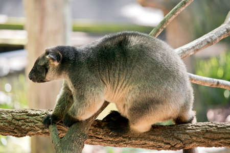 The Lumholtz Tree-kangaroo is walking over a branch  in a tree