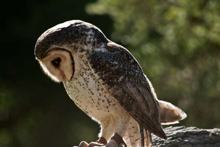 This is a side view of a barn owl