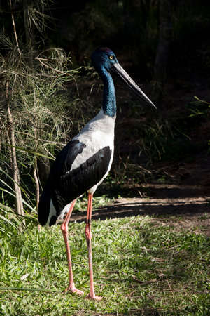 The black necked stork is standing in a paddock