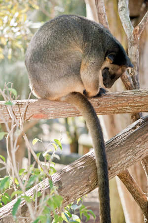 This is a close up of a Lumholtz Tree-kangaroo in a tree