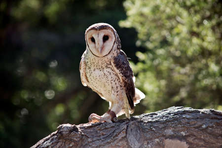the lesser sooty owl is perched on a tree branch Stock Photo