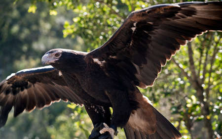 this is a close up of a wedge tail eagle Imagens