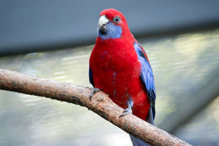 this is a close up of a crimson rosella