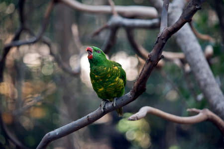 the scaly-breasted lorikeet is singing a song Stock Photo