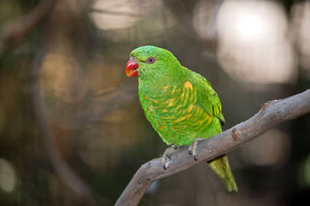 this is a close up of a scaly-breasted lorikeet Stock Photo