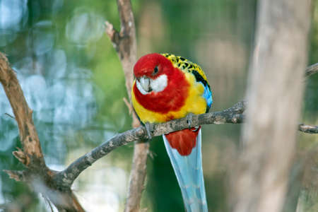 the Eastern rosella is perched in a tree