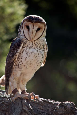 the sooty owl is perched on a tree branch Stock Photo