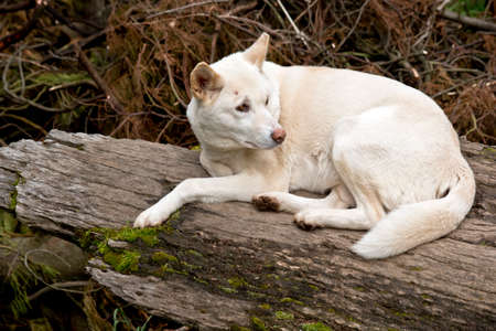 the white dingo is laying on a log