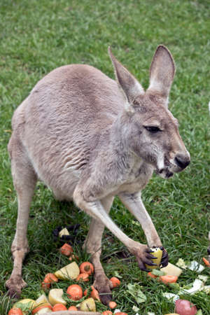 the young red kangaroo is eating fruit Stock Photo