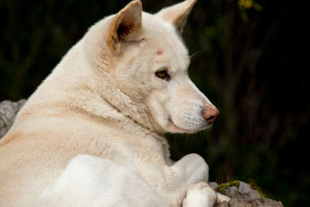 this is a close up of a white dingo Stock Photo