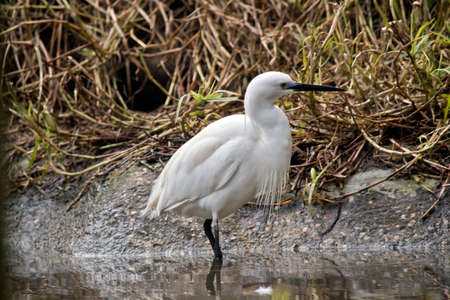 the little egret is looking for food in the pond
