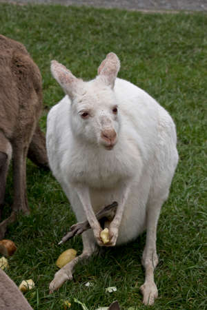 the albino kangaroo is eating fruit she has a joey in her pouck