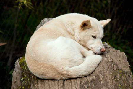 the white dingo is laying on a log sleeping