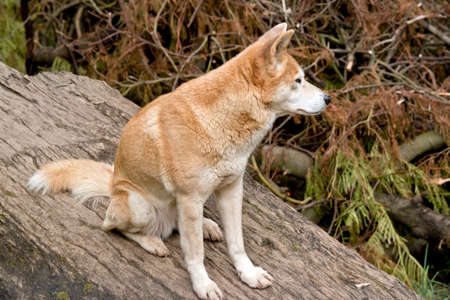 the golden dingo is sitting on a log Stock Photo