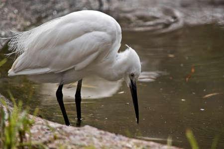 작은 백로가 연못에서 음식을 찾고있다. 스톡 콘텐츠